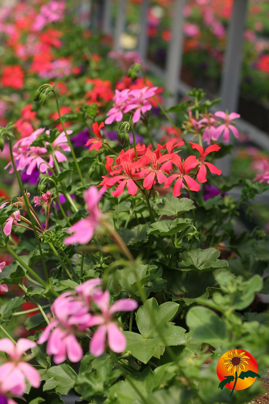 La Valle dei Fiori-floricoltura 2